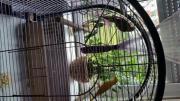 2 Halsbandsittich Papagei