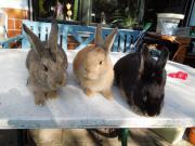 3 junge Hasen