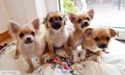 4 Chihuahua Welpen (