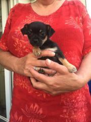 5 kleine Chihuahua