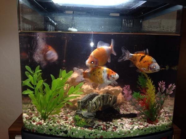 Goldfische fische kleinanzeigen tiermarkt deine for Teichfische verkauf