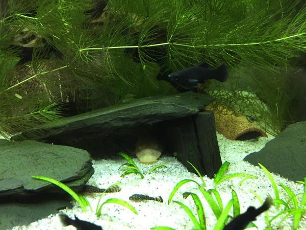 ancistrus antennenwelse in durmersheim fische aquaristik kaufen und verkaufen ber private. Black Bedroom Furniture Sets. Home Design Ideas