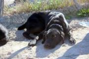 Angus - lieber Labrador-