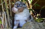 Australian Shepherd Welpen
