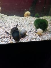 Axolotl geeinete Schnecken !