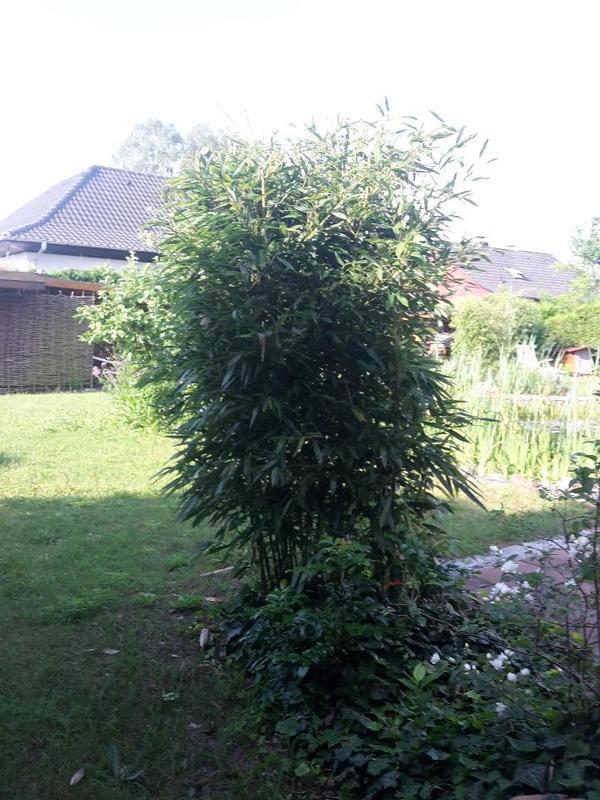 bambus 160 180cm in braunschweig pflanzen kaufen und. Black Bedroom Furniture Sets. Home Design Ideas
