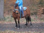 Barocke Stute -Freizeitpferd