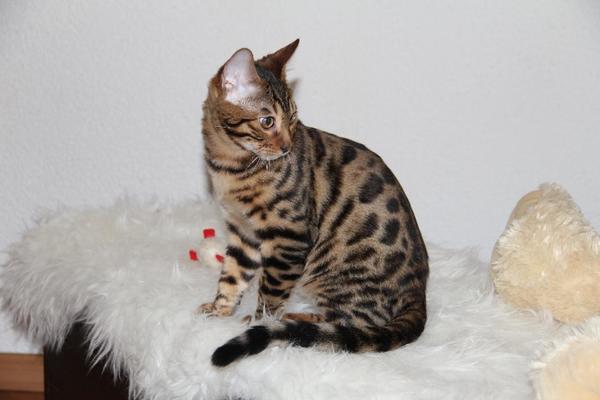 bengal kitten mit stammbaum in ludwigshafen katzen. Black Bedroom Furniture Sets. Home Design Ideas