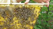 Bienen Bienenableger Ableger