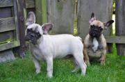 Bildschöne Franz. Bulldoggen