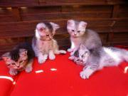 BKH,Kater,Katzenbabys