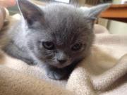 Bkh-kitten abzugeben