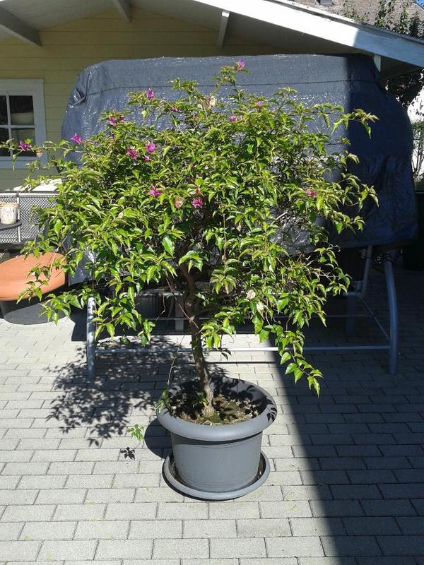 bougainvillea pflanze in wolfurt pflanzen kaufen und. Black Bedroom Furniture Sets. Home Design Ideas