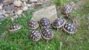 Breitrandschildkröten 2 bis