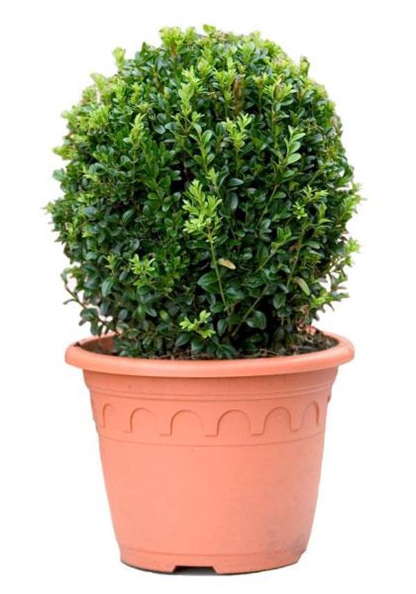 buxus buchsbaum kugel 30 35cm durchmesser eur 5 in bad. Black Bedroom Furniture Sets. Home Design Ideas