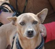 Caramel, Pinscher Mix,