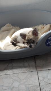 Chihuahua langhaar hündin