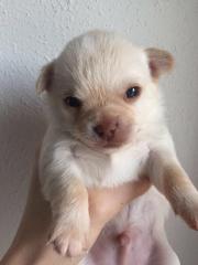Chihuahua Schoko-Creme