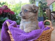 Chihuahua Welpen, Langhaar