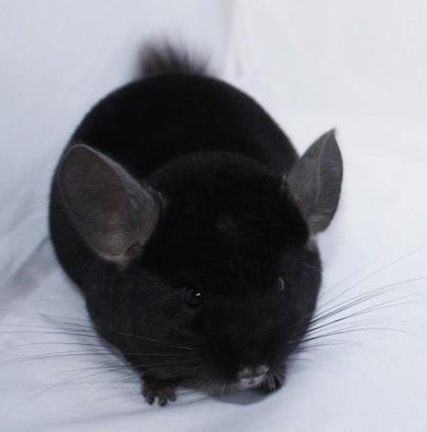 chinchillas jungtiere in vielen farben in eugendorf kleintiere kaufen und verkaufen ber. Black Bedroom Furniture Sets. Home Design Ideas