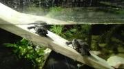 Chinesische Dreikielschildkröte - Chinemys