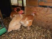 cou nu hühner +
