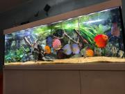 Diskus Fische
