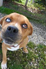 DUX- ein außergewöhnlicher Hund sucht ein Zuhause Boxer erwachsen Dux kommt aus dem wunderschönen Ort Amatrice in Italien, wo das Erdebeben im August alles dem erboden gleichgemacht hat. Seine ... 200,- D-45219Essen Kettwig Heute, 21:01 Uhr, Essen Kettwig - DUX- ein außergewöhnlicher Hund sucht ein Zuhause Boxer erwachsen Dux kommt aus dem wunderschönen Ort Amatrice in Italien, wo das Erdebeben im August alles dem erboden gleichgemacht hat. Seine