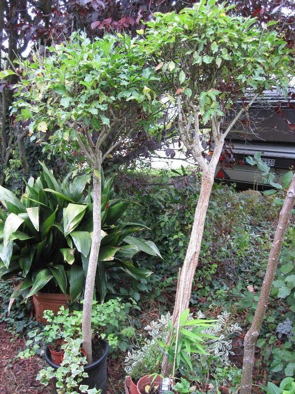 echtes pfaffenh tchen hochstamm pflanzeit jetzt in landau. Black Bedroom Furniture Sets. Home Design Ideas