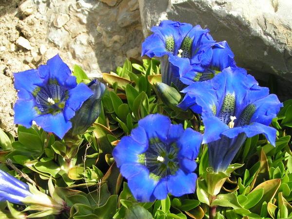 enzian pflanzen blau in dresden kaufen und verkaufen ber private kleinanzeigen. Black Bedroom Furniture Sets. Home Design Ideas