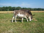Esel - gescheckter Minieselhengst