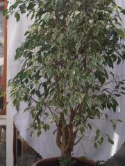 Ficus Benjaminie , Birkenfeige,