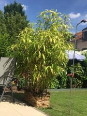 Gartenbambus 205 x