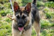 GERY, Schäferhund Mischling -
