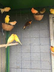 Gesangskräftige Kanairenvögel in