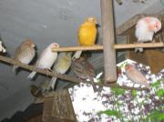 Gesunde junge Kanarievögel