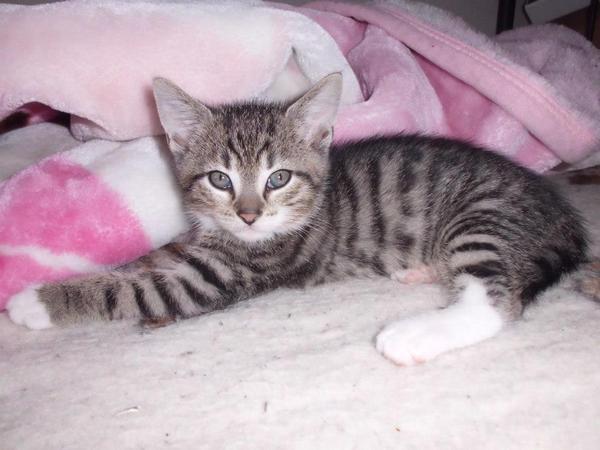 baby tiger katze