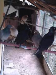 gezüchteten Tauben zum