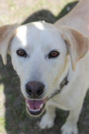 Greta, junger Labradormix,