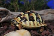 Griechische Land Schildkröte,
