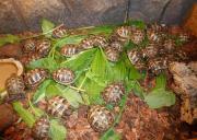 Griechische Landschildkröte (THB) -