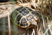 Griechische Landschildkröten (THH)