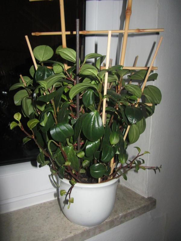 bild 4 gro e zimmerpflanze bleistiftbaum euphorbia. Black Bedroom Furniture Sets. Home Design Ideas