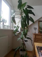 Großer dekorativer Philodendron