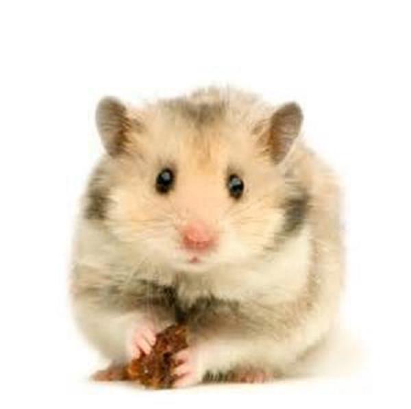 hamster maus ratte meerschweinchen kaninchen in rheine. Black Bedroom Furniture Sets. Home Design Ideas
