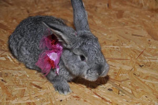 hasenbabys osterhasen angora deutscher widder kaninchen in f rth kleintiere kaufen und. Black Bedroom Furniture Sets. Home Design Ideas