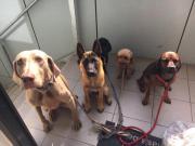 Hundetrainer / Hundetraining