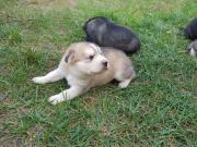 Husky-Schäferhund-Welpen