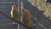 Junges Pfirsichköpfchen Paar