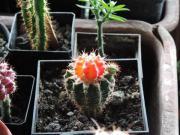 Kaktus basar,Kaktus